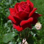 Торжественно красивая красная роза на фоне летней зелени. Вертикальные фото-обои 1280-1920.