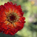Ярко-красный махровый цветок циннии