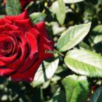 Красная роза в сентябре