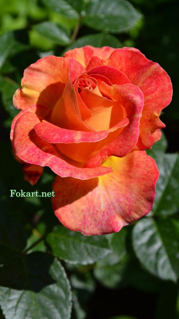 Красно-оранжевая роза