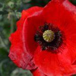 Красный мак вблизи, фото 2