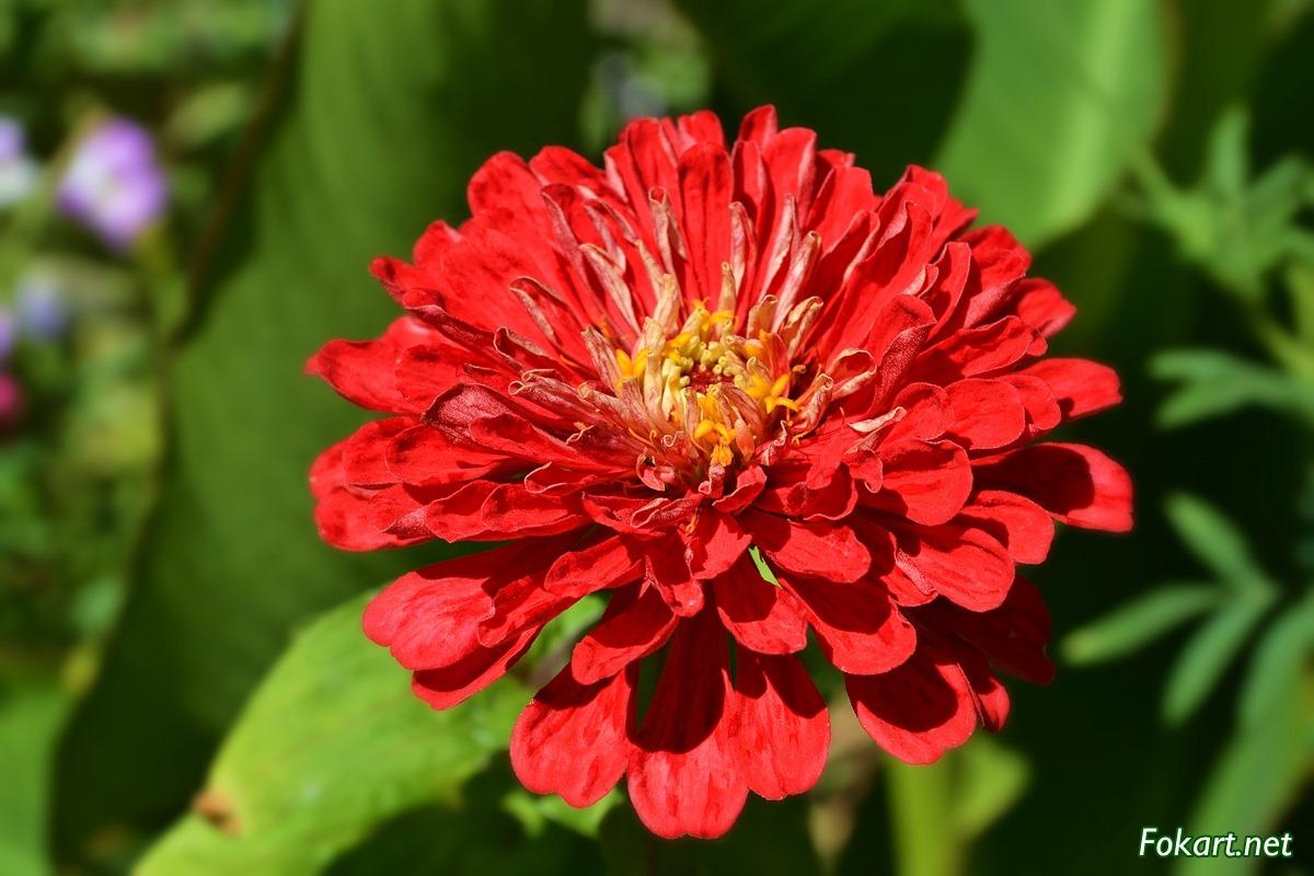Красный цветок циннии