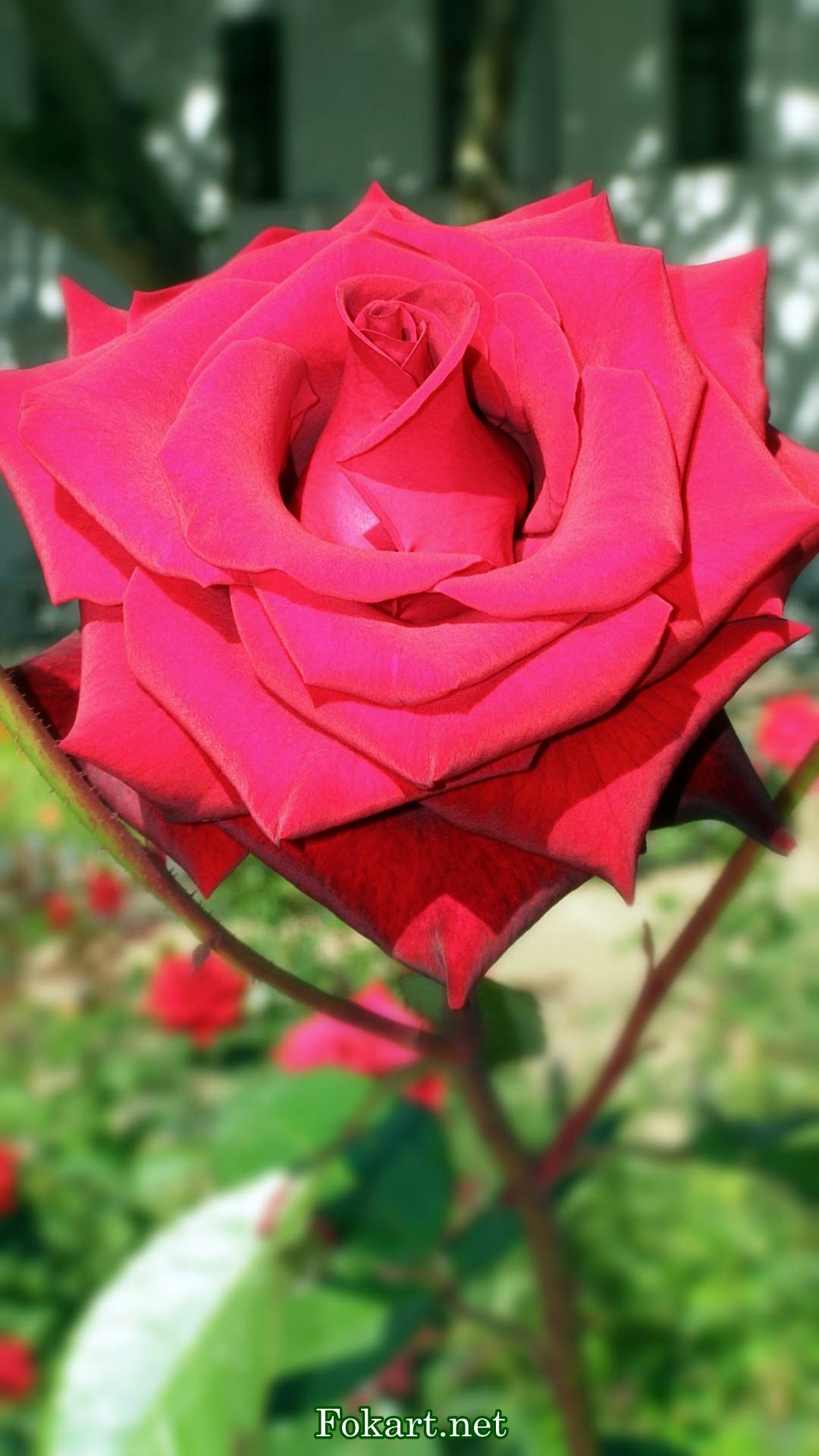 Красивая крупная роза