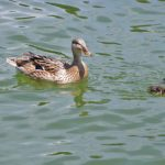 Кряква плывёт с двумя утятами