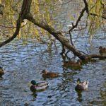 Кряквы под старой ивой на осеннем пруду