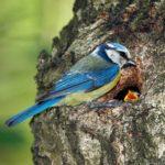 Лазоревка кормит птенца