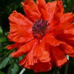 Яркий цветок оранжево-красного мака вблизи