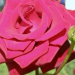 Красивая малиновая роза на клумбе