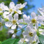Вся нежность весны в цветочках черёмухи