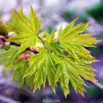 Нежность весенних листиков клёна