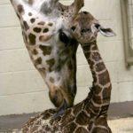Новорожденный жирафик