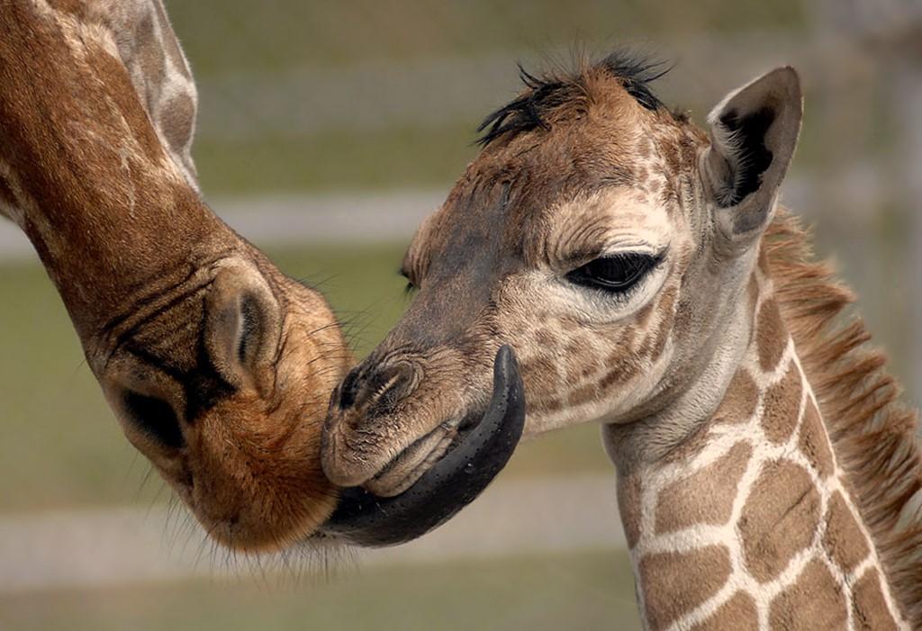 Новорожденный жирафик, фото 2