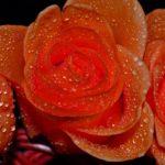 Оранжевые розы в каплях воды