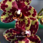 Два жёлто-бордовых, пятнистых цветка фаленопсиса