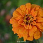 Оранжевый цветок циннии осенью