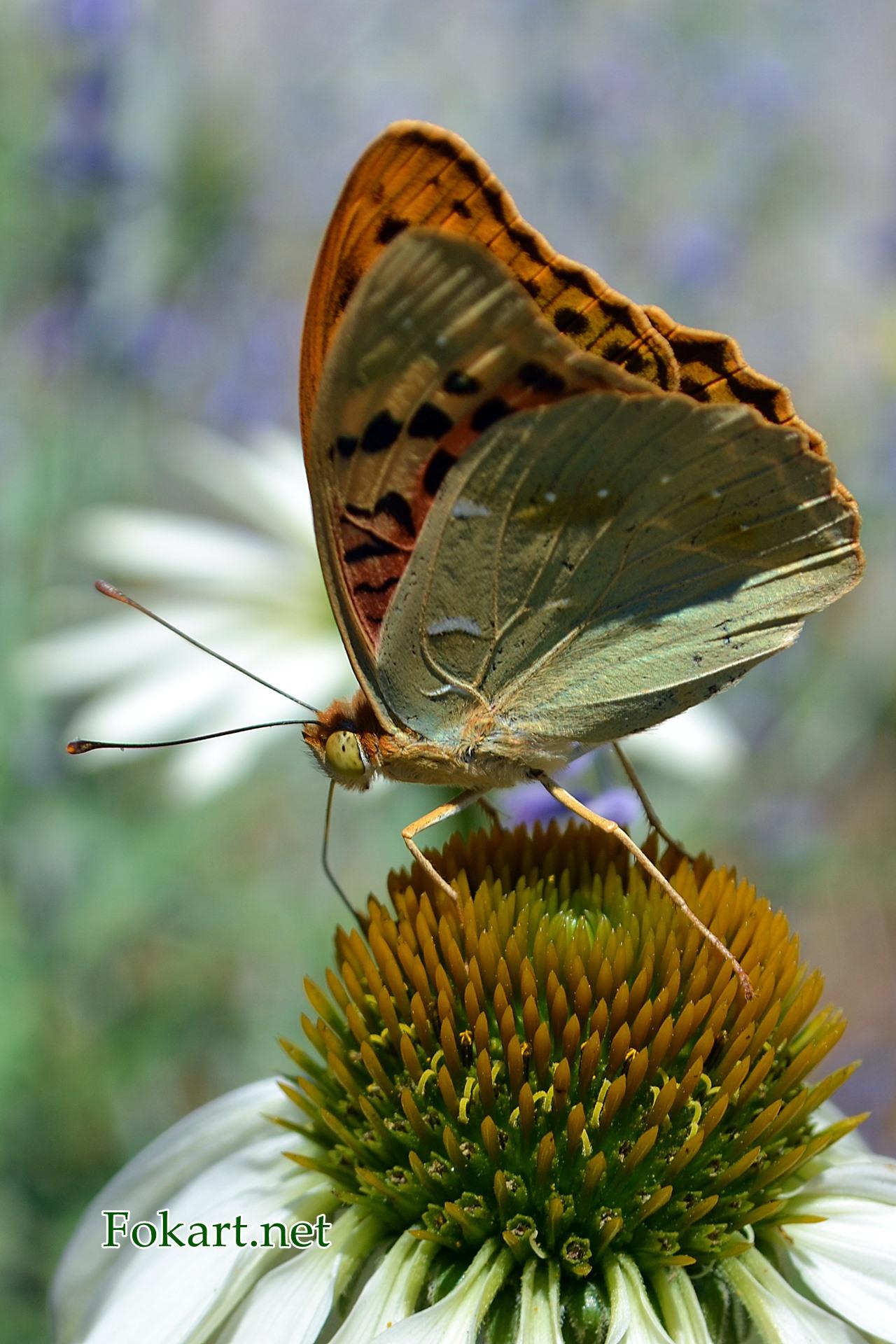 Перламутровка большая со сложенными крылышками на цветке эхиноцеи белой