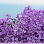 Нежные цветочки персидской сирени крупным планом