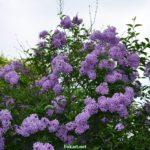 Верхушка цветущего куста персидской сирени
