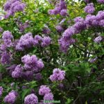 Верхние ветки цветущего куста персидской сирени