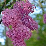 Сиреневое соцветие персидской сирени, свисающее с ветки