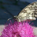 Пестроглазка галатея на цветке чертополоха, крупный план