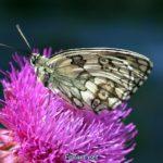 Пестроглазка галатея на цветке чертополоха