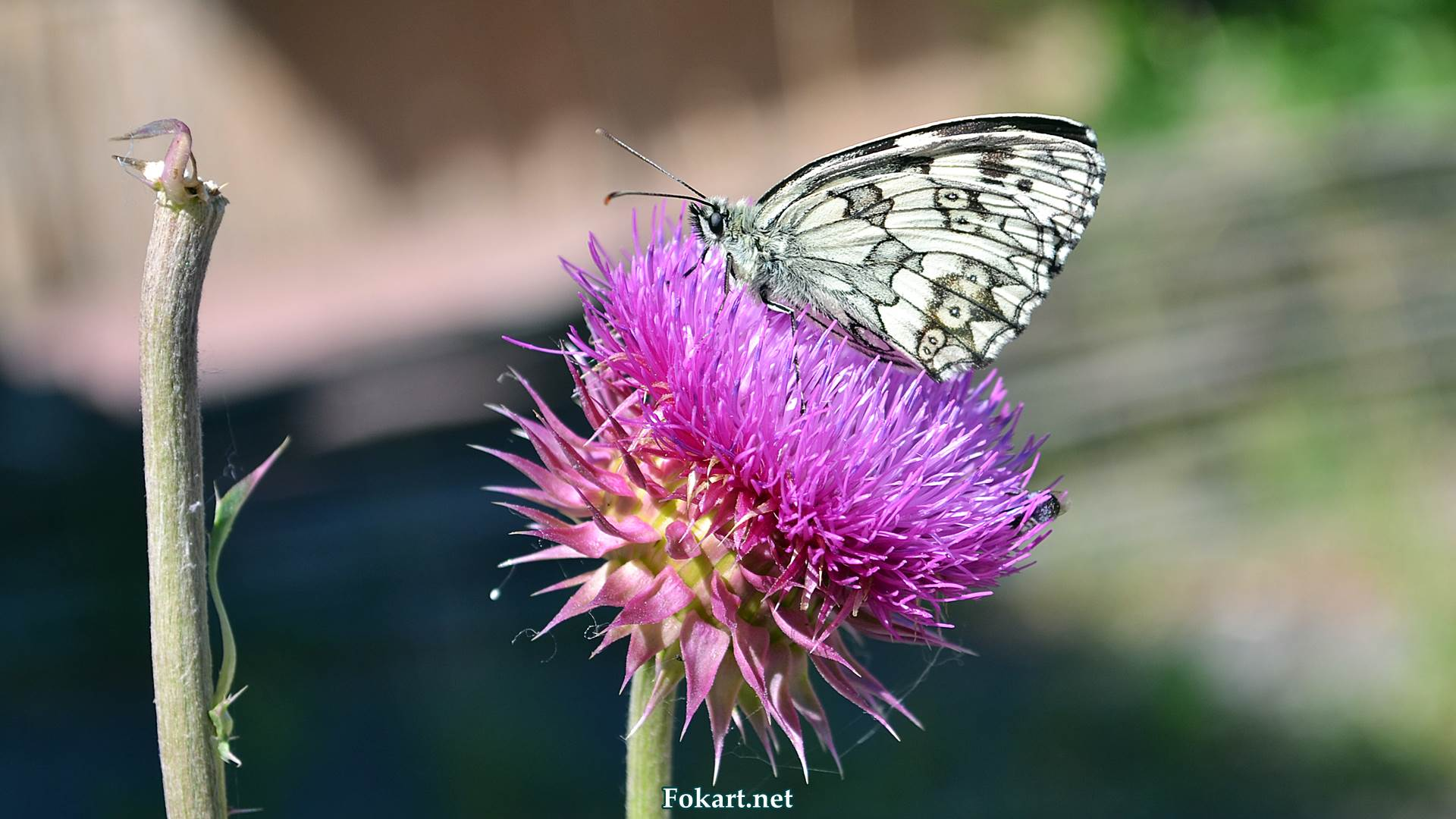 Пестроглазка галатея на цветке, фото 3
