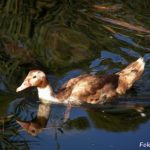 Молодая дикая утка, быстро плывущая по воде