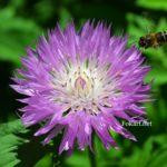 Пчела, подлетающая к сиреневому цветку василька мускусного.