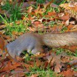 Рыжая белка, проворно бегущая по осенним листьям