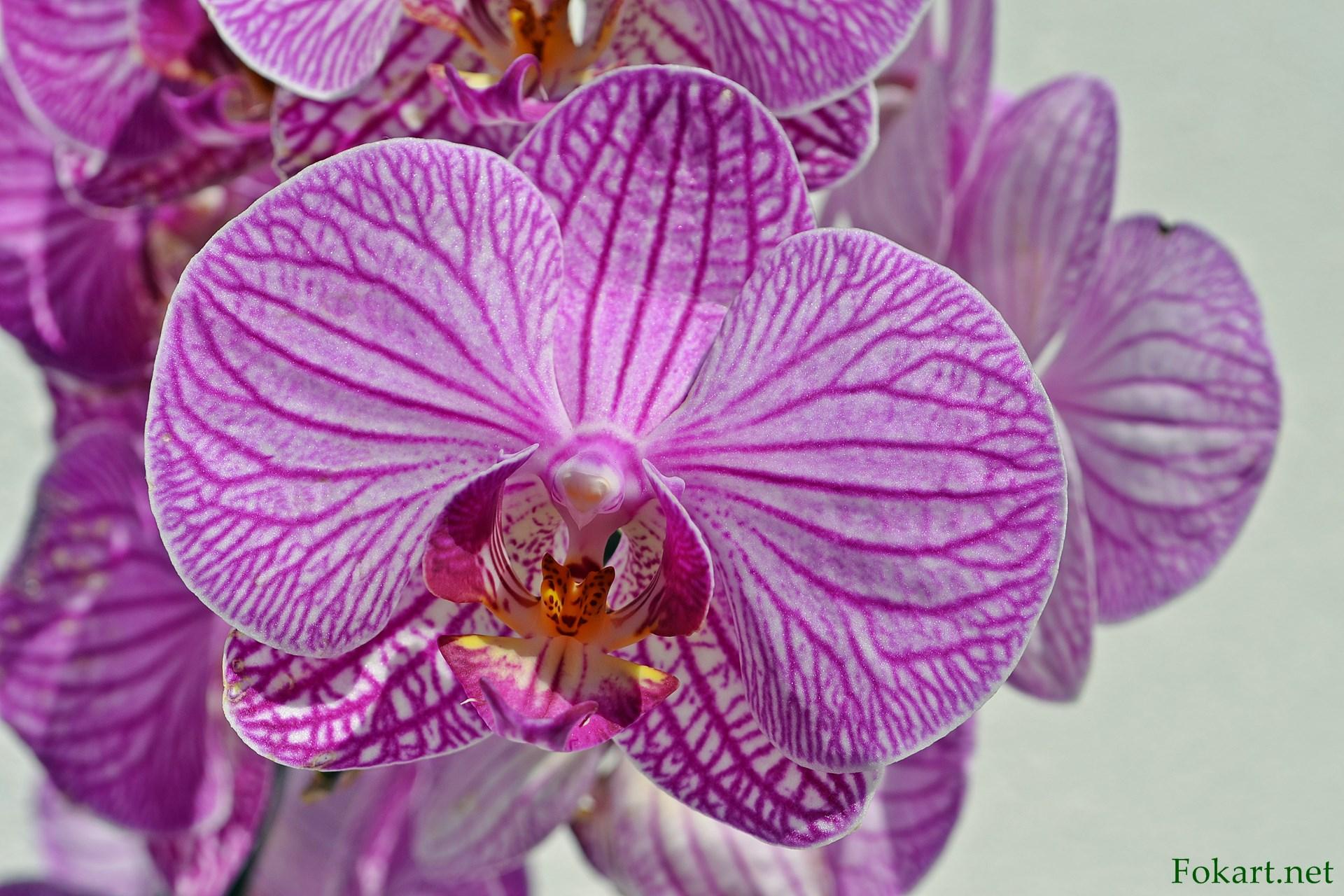 Пурпурный с белым цветок фаленопсиса на весь экран