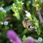 Молодая пчела на цветущей травинке в середине апреля