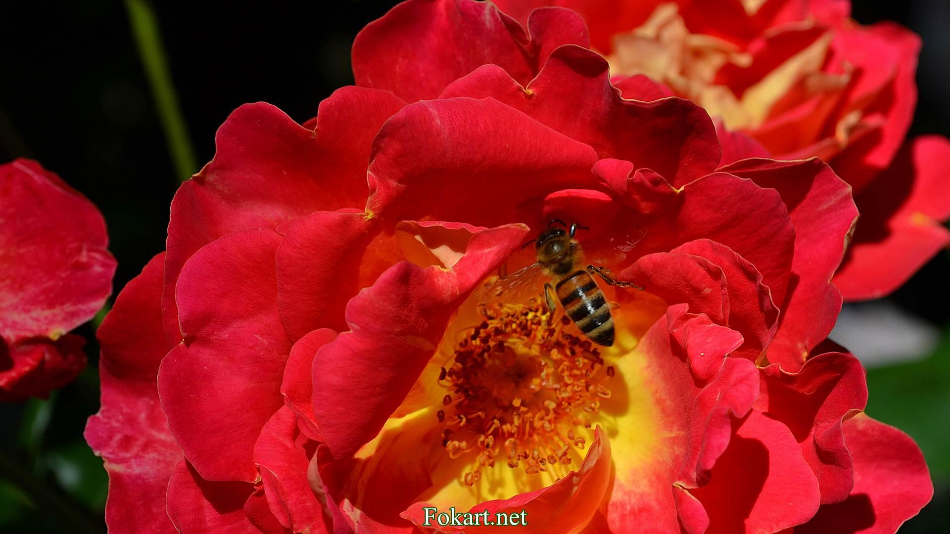 Пчела на серединке розы