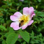 Пчела, собирающая пыльцу, на цветке шиповника
