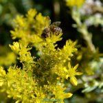 Пчела, собирающая нектар на жёлтых цветках очитка едкого
