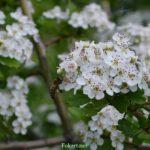 Пчела и цветки боярышника