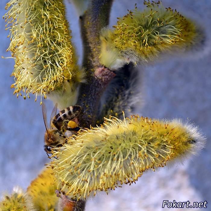 Пчела собирает пыльцу на цветущей серёжке весенней вербы