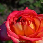 Пчела на двухцветной розе