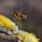 Пчела, подлетающая к цветущей серёжке вербы