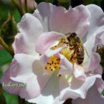 Пчела собирает пыльцу на розе