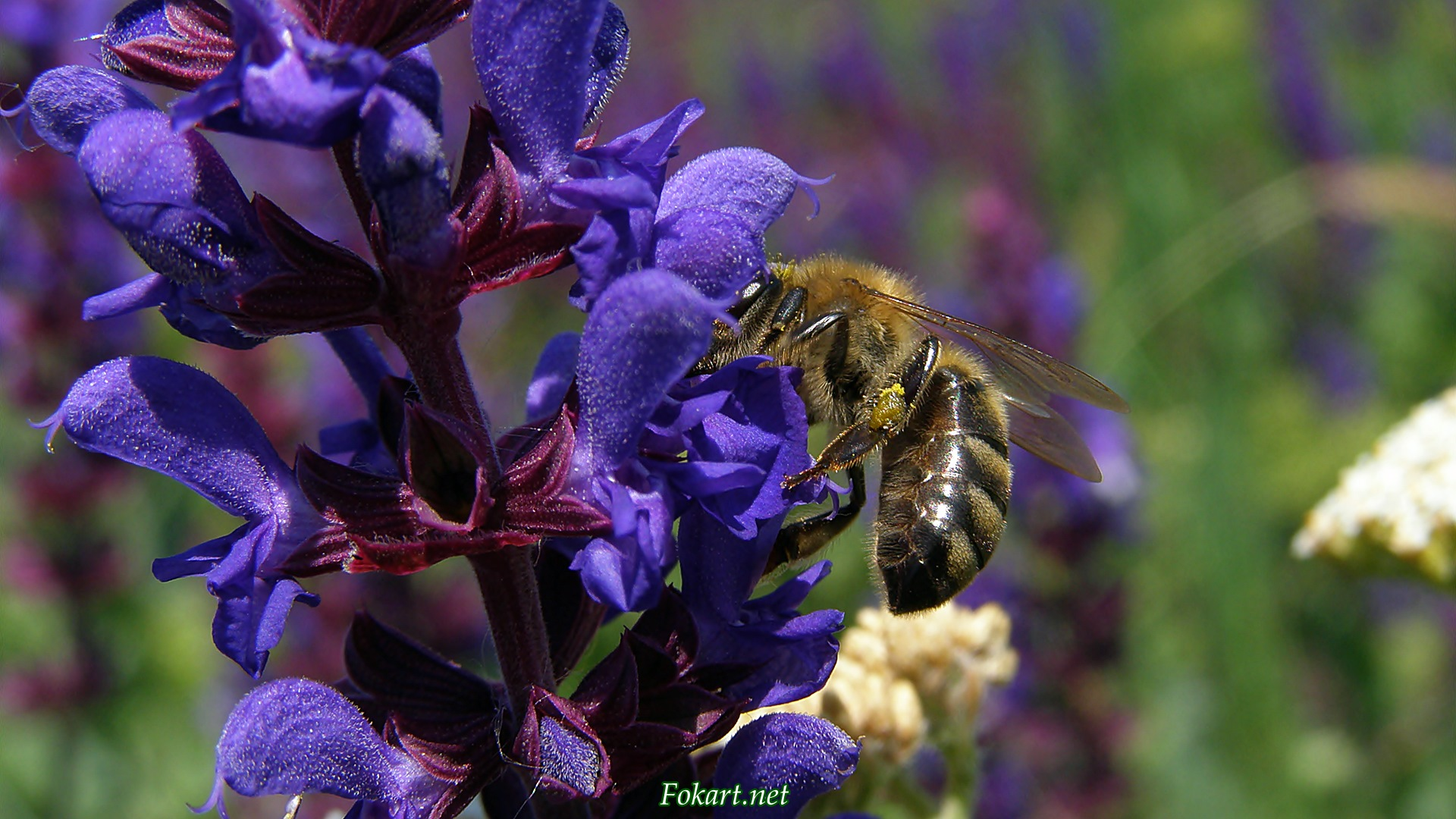 Пчела собирает нектар с цветка шалфея лугового