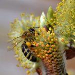 Пчела на цветочках вербы