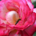 Пчела на двухцветной яркой розе