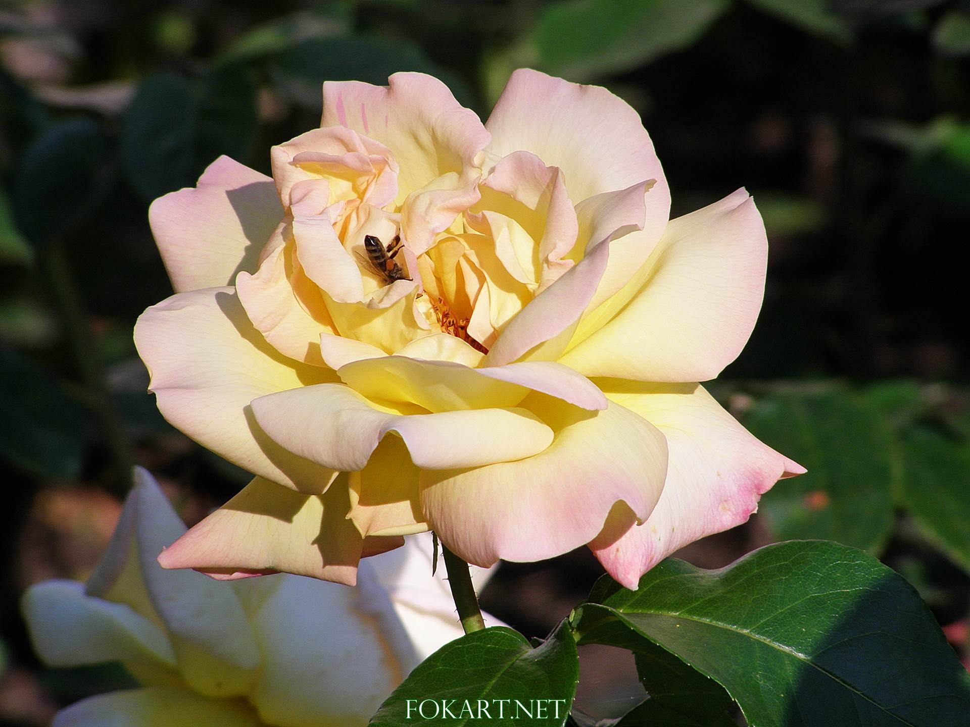 Пчела, залезающая в серединку желтоватой чайной розы