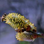 Две пчелы на серёжках вербы