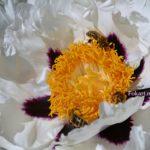 Пчёлы на пионе вблизи