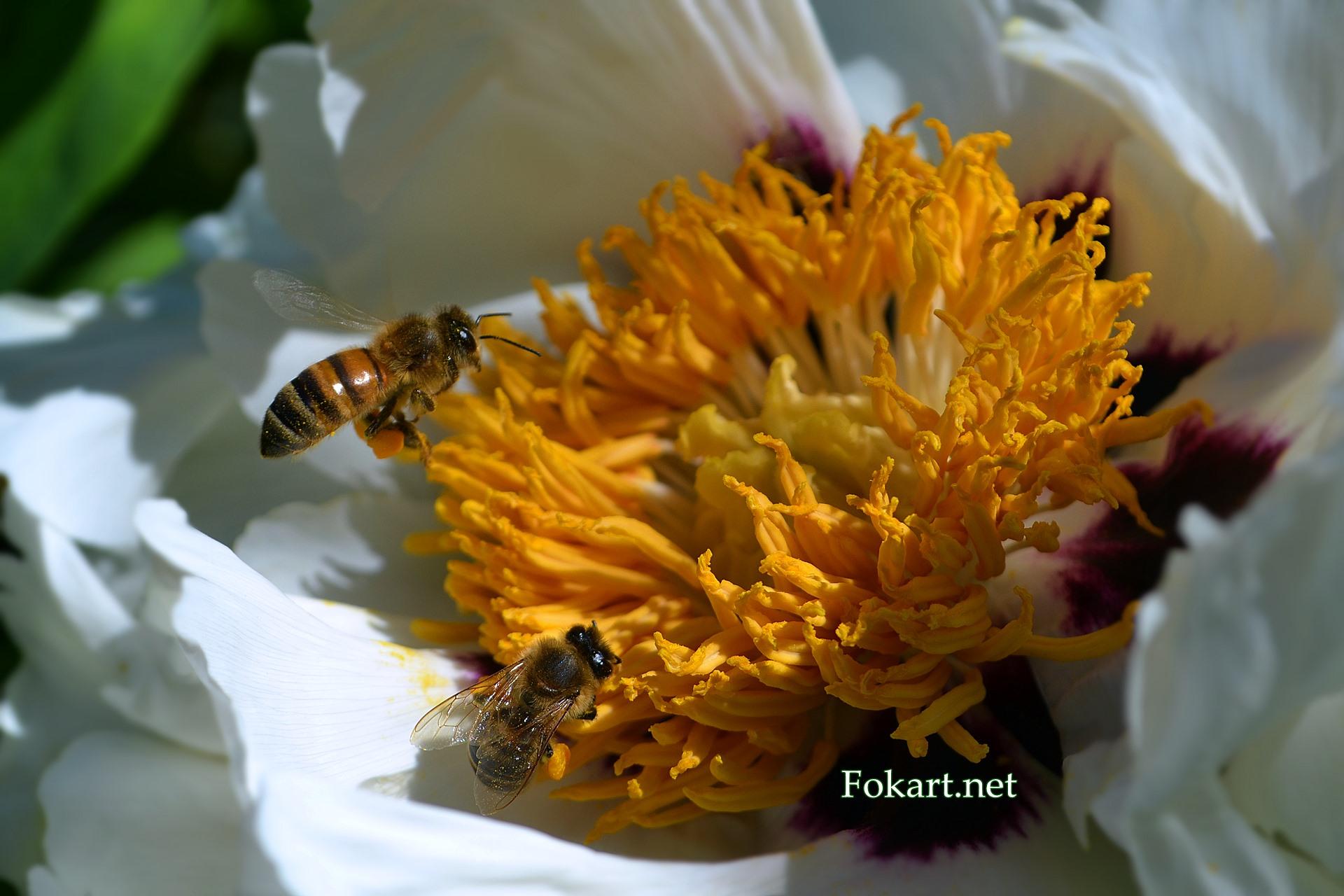 Пчёлы собирают цветочную пыльцу на белом цветке древовидного пиона