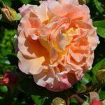 Пышная роза с извивающимися лепестками и оттенками жёлтого, лососевого и розового