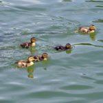 Пятеро плывущих утят кряквы