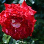 Раскрытая роза в дождинках